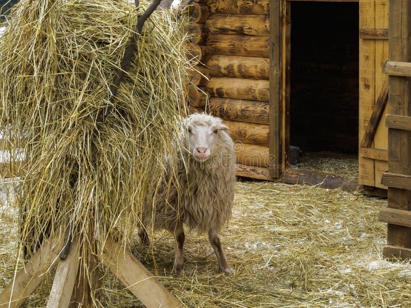 De schapen in drijven dichtbij hooiberg bijeen stock fotografie