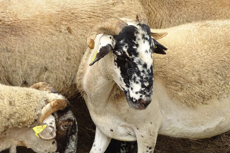 De schapen met hoornen sluiten omhoog stock afbeelding