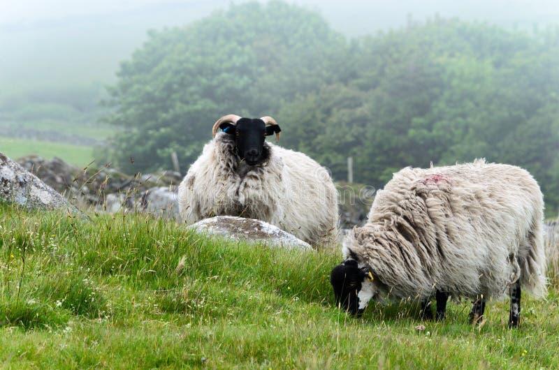 De schapen op Bodmin leggen vast royalty-vrije stock afbeelding