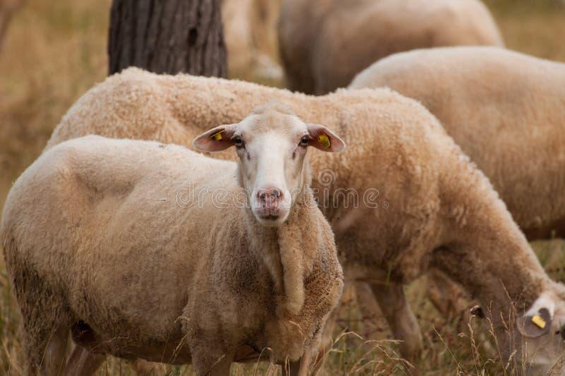 De schapen op de weide eten gras stock fotografie