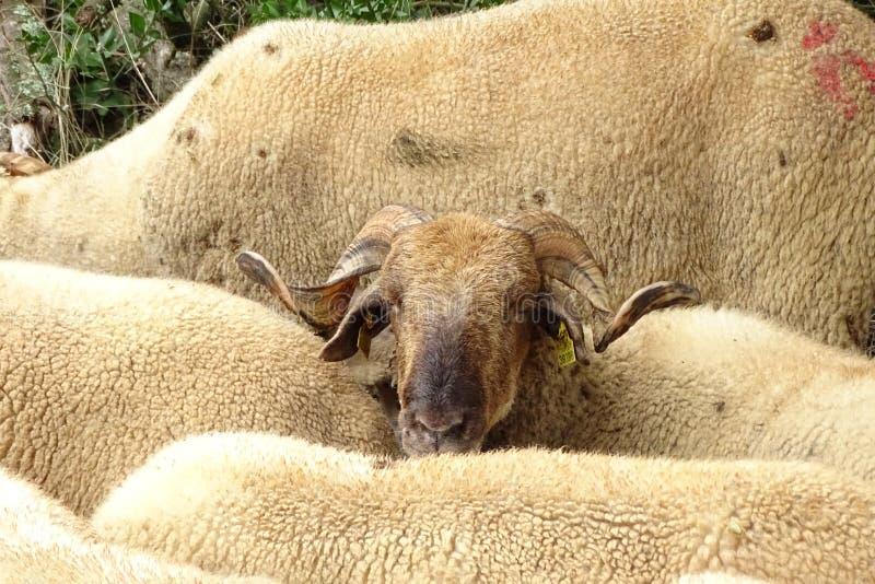 De schapen sluiten omhoog het bekijken de camera stock afbeeldingen