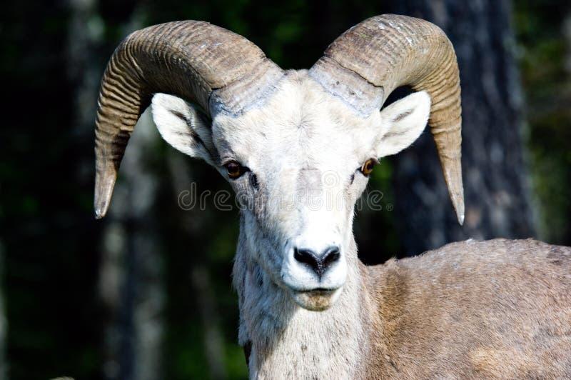 De schapen van Bighorn stock foto