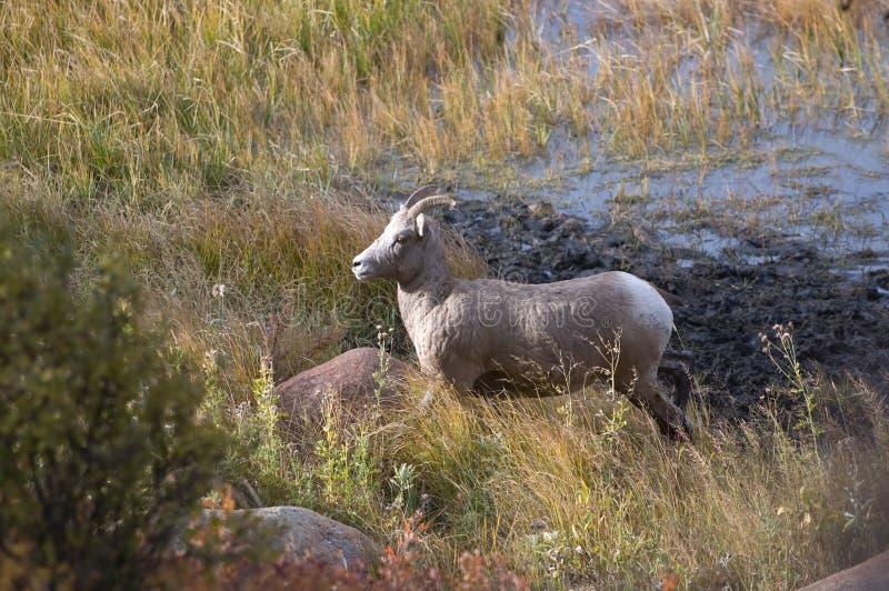 De schapen van Bighorn royalty-vrije stock afbeelding