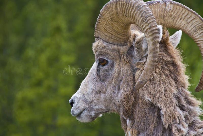 De schapen van Bighorn in de Rotsachtige Bergen stock afbeelding