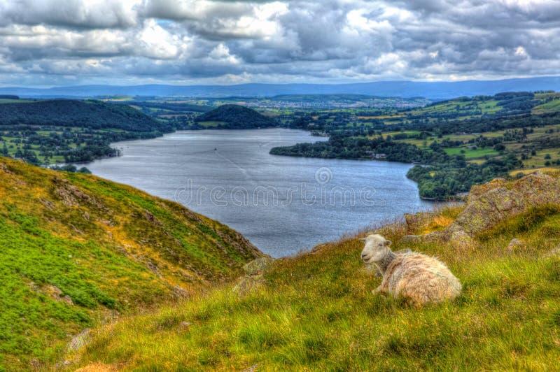 De schapen van Cumbria Engeland het UK van het Meerdistrict met opgeheven mening van het Engelse platteland van Ullswater in hdr royalty-vrije stock foto's