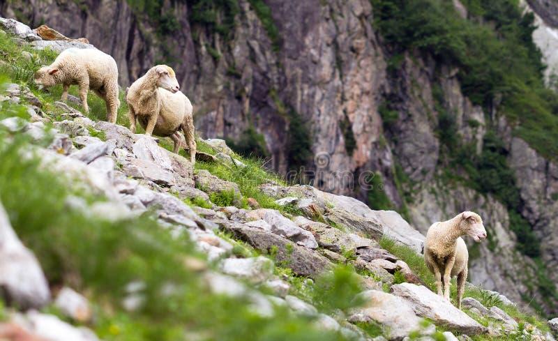 De schapen van de berg royalty-vrije stock foto's