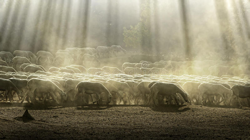 De schapen van de kudde royalty-vrije stock afbeelding