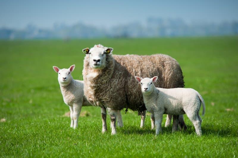 De schapen van de moeder en haar lammeren in de lente stock afbeelding