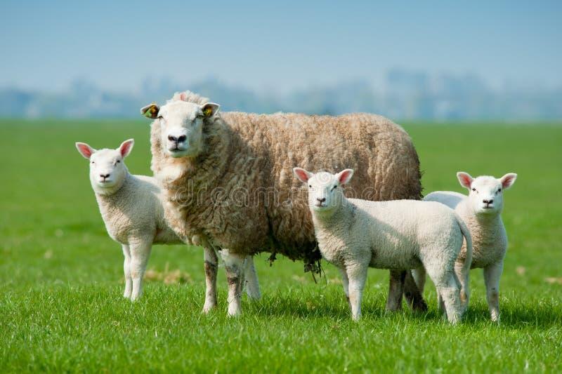 De schapen van de moeder en haar lammeren in de lente royalty-vrije stock foto's