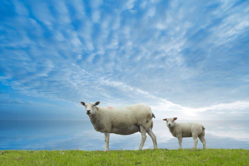 De schapen van de moeder en van de baby royalty-vrije stock foto