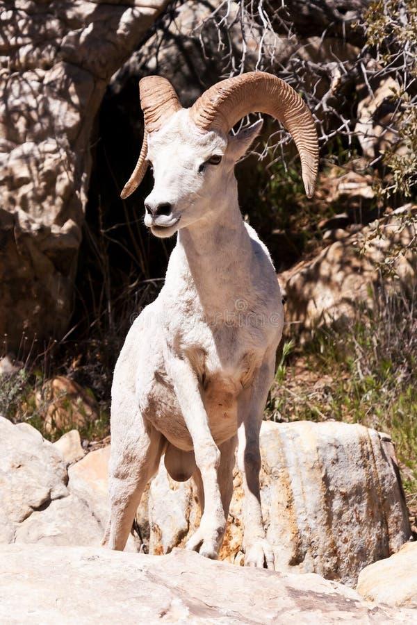 De Schapen van de Ram van Bighorn van de albino stock fotografie