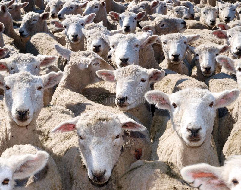 De Schapen van de Schapen van schapen royalty-vrije stock foto's