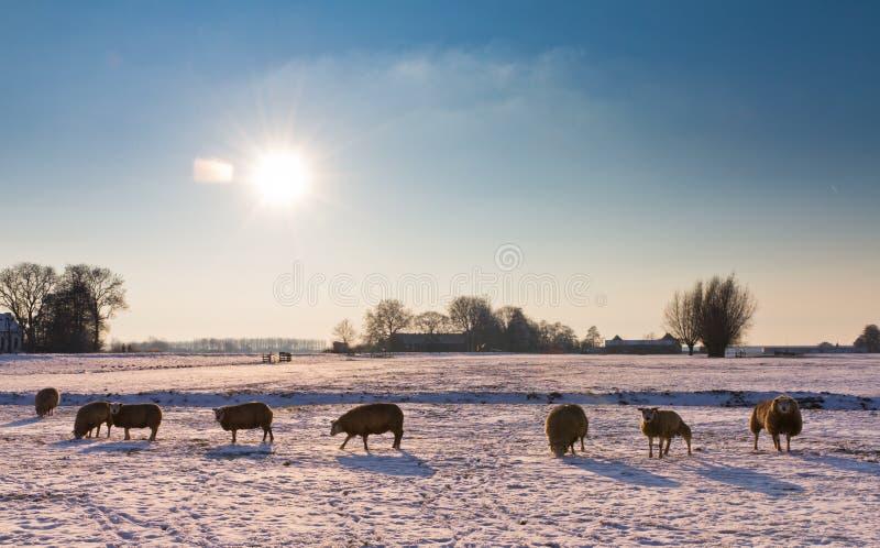 De schapen van de winter royalty-vrije stock afbeeldingen
