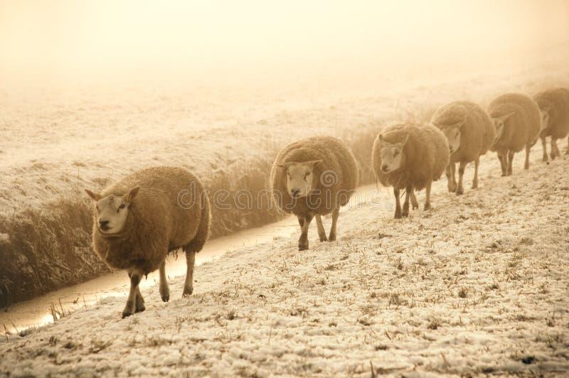 De Schapen van de winter stock afbeelding