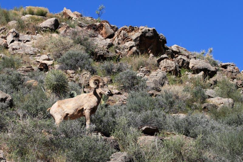 De schapen van de woestijn bighorn stock afbeelding