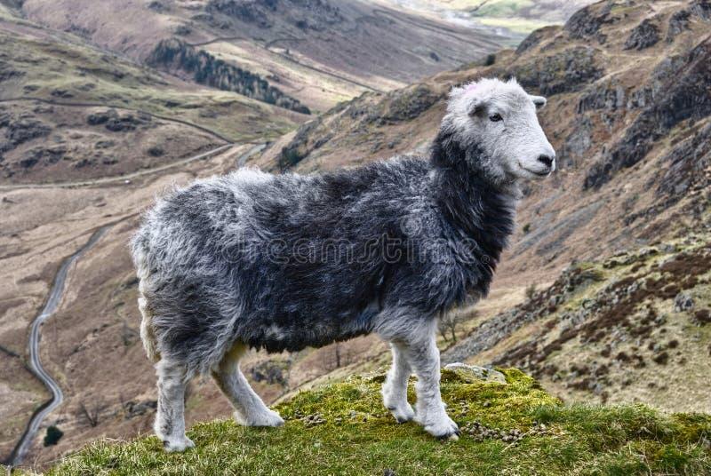 De schapen van Herdwick in bergen stock afbeeldingen