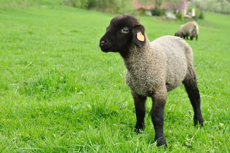 De schapen van het lam royalty-vrije stock foto's