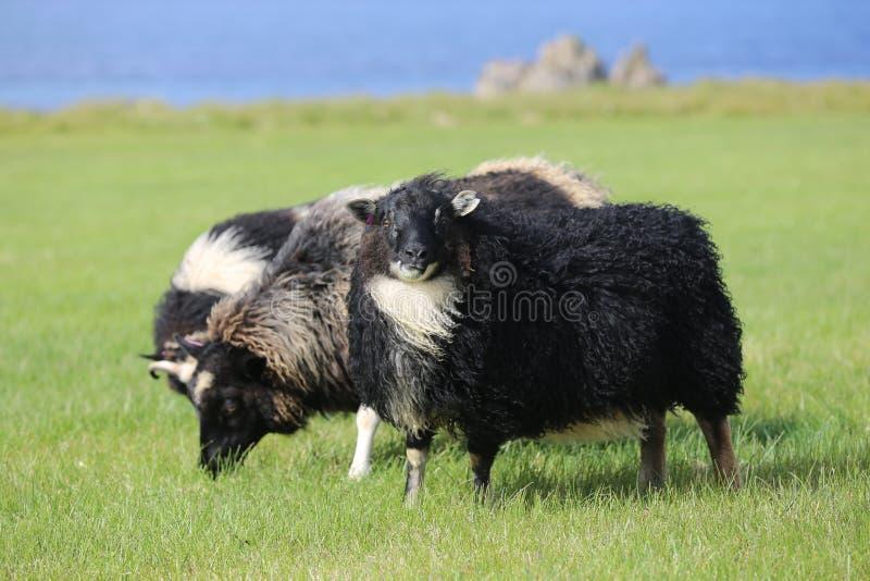 De schapen van IJsland stock fotografie