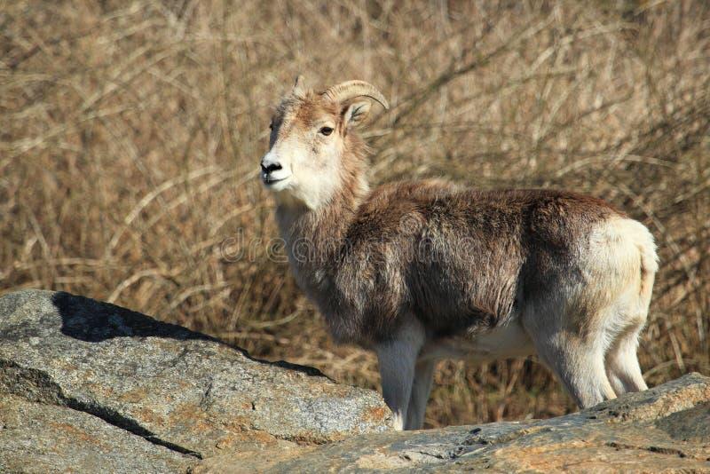De schapen van Marco Polo royalty-vrije stock foto's