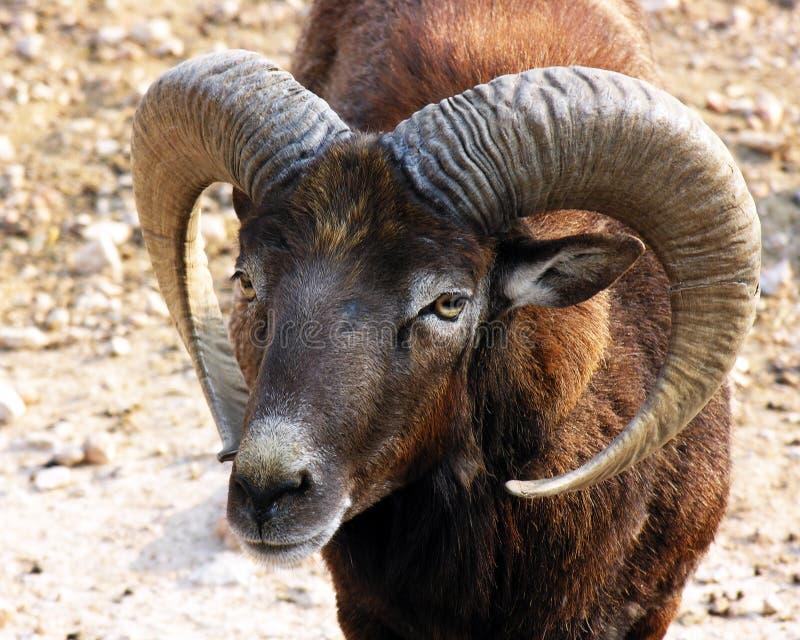 De schapen van Mouflon stock foto's