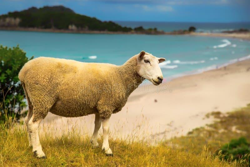 De schapen van Nieuw Zeeland op het strand in Onderstel Maunganui royalty-vrije stock foto's