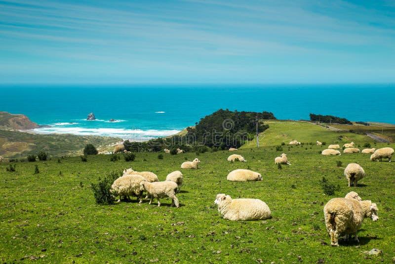 De schapen van Nieuw Zeeland op de heuvel dichtbij de oceaan stock foto's