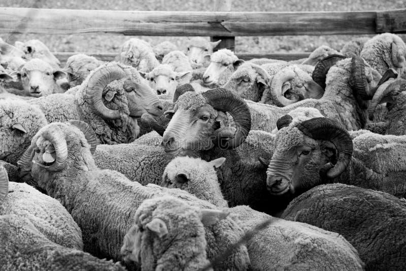 De schapen van Patagonië stock afbeelding