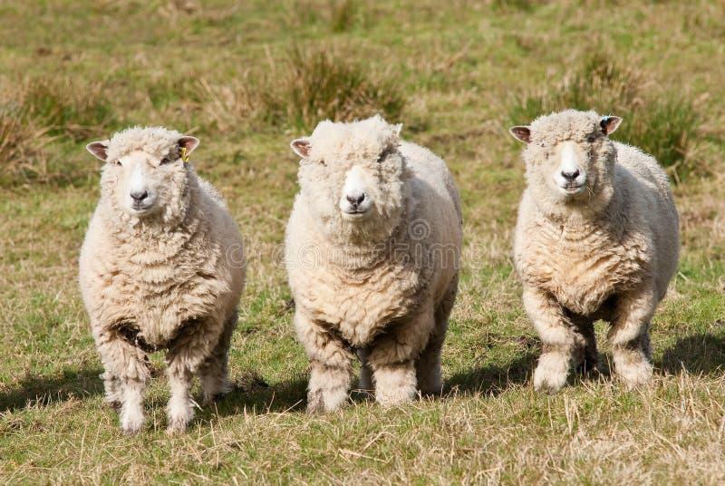 De schapen van Ryedale stock fotografie