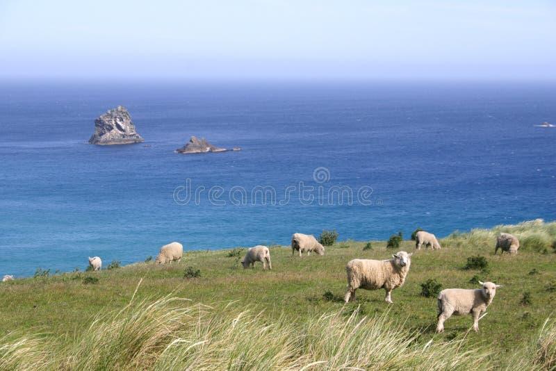 De schapen weiden op weiland op de klip, Zuideneiland, Nieuw Zeeland stock afbeeldingen