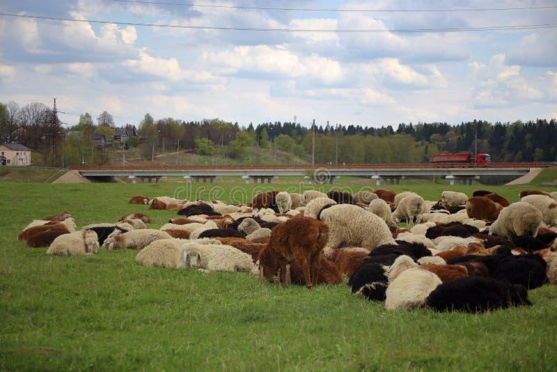 De schapen weiden vreedzaam op weiland dichtbij de weg royalty-vrije stock foto's