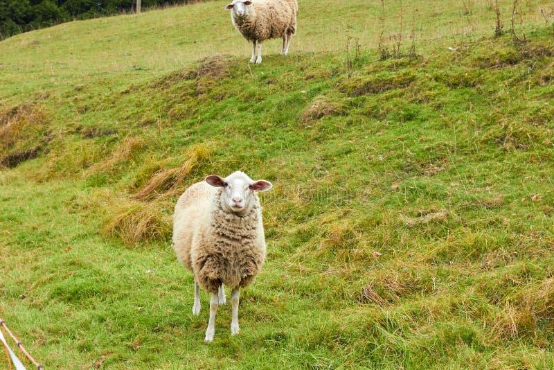 De schapen weiden in de weide Schapengang op het gras Ram het eten royalty-vrije stock afbeeldingen