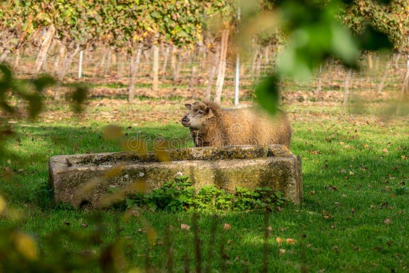 De schapen zullen bij een bar in de wijngaarden van Bordeau drinken royalty-vrije stock afbeelding