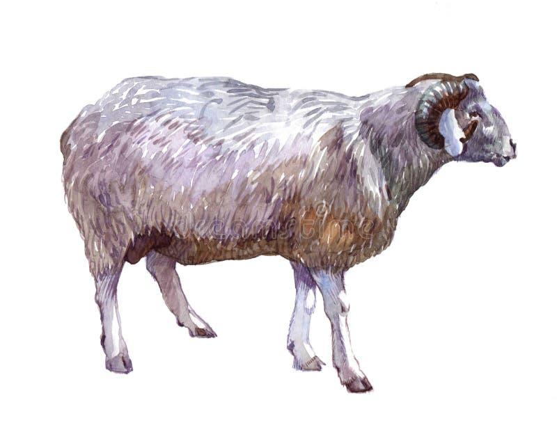 De schapendier van de waterverf enig ram stock illustratie