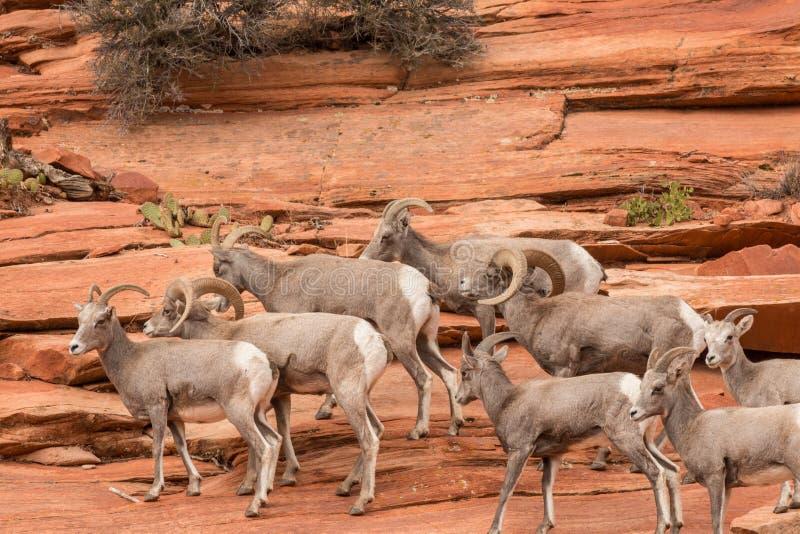 De Schapenkudde van het woestijnbighorn stock foto