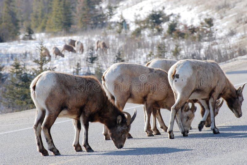 De schapenkudde van Moutain stock afbeelding