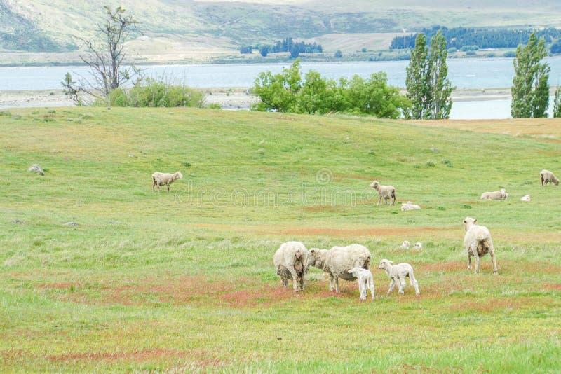 De schapenkudde weidt vers gras bij werflandbouwbedrijf in Nieuw Zeeland stock foto