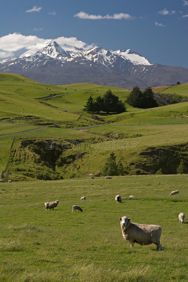 De schapenlandbouwbedrijf van Nieuw Zeeland stock foto