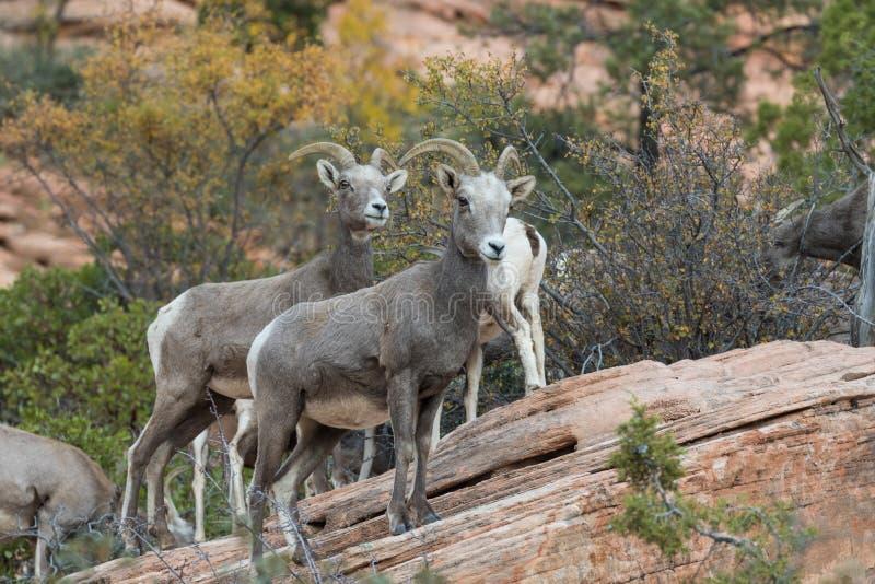De Schapenooien van het woestijnbighorn royalty-vrije stock foto