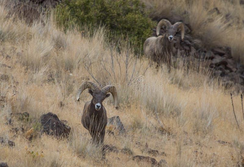 De schapenRammen van Bighorn stock afbeelding