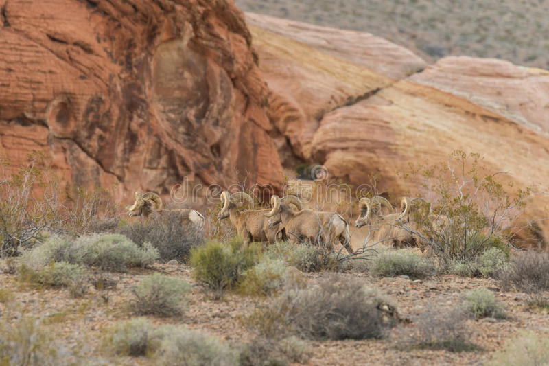 De Schapenrammen van het woestijnbighorn stock afbeelding