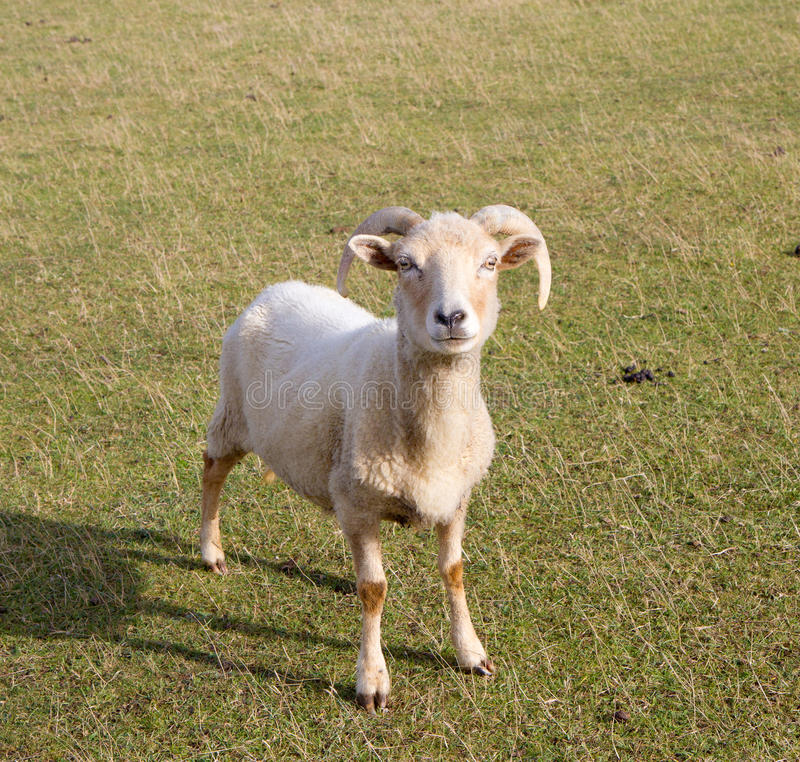 De schapenras van Portland van Dorset stock foto