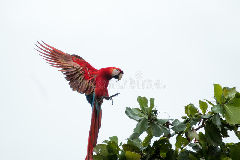 De scharlaken ara's van Costa Rica stock afbeeldingen