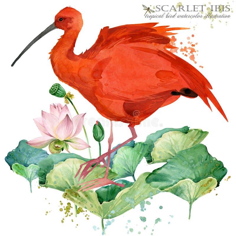 De scharlaken hand van de ibisvogel trekt waterverfillustratie royalty-vrije illustratie