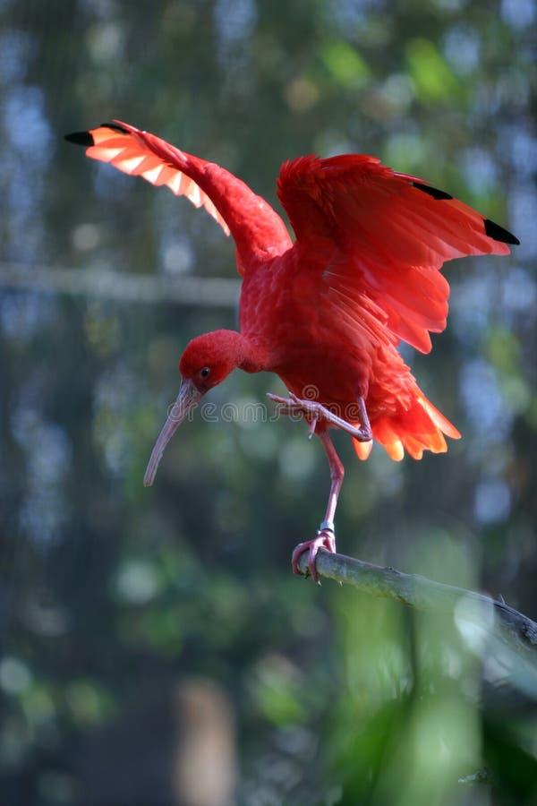 De scharlaken tribunes van Eudocimus van de Ibis ruber op een boomtak