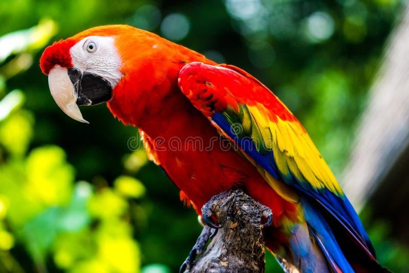 De scharlaken vogel van de Arapapegaai