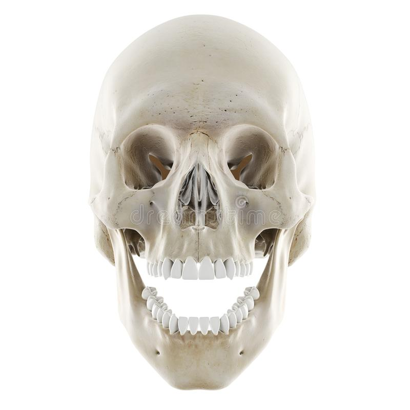 de schedel met open kaak vector illustratie