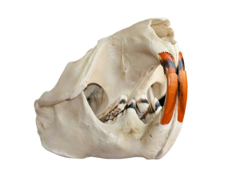 De schedel van de bever op een witte achtergrond royalty-vrije stock fotografie