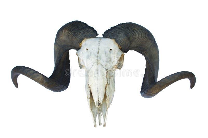 De schedel van de ram met grote hoorn royalty-vrije stock fotografie