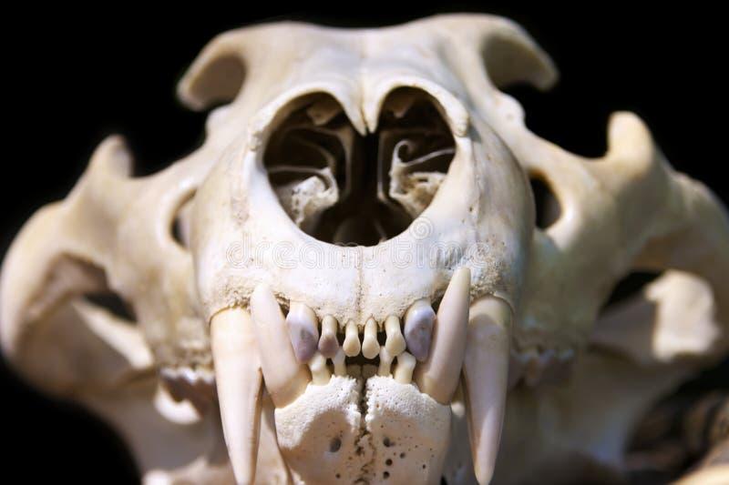 De schedel van de tijger stock afbeelding