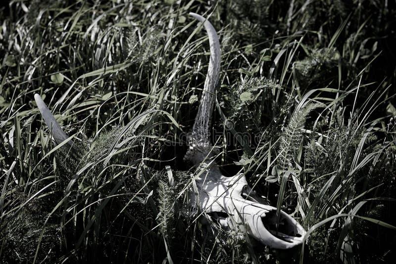 De Schedel van herten stock afbeelding